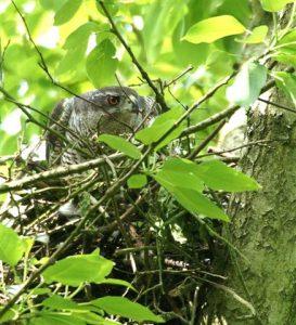 havik-op-nest-in-populier-mei-2010-rob-v-swieten